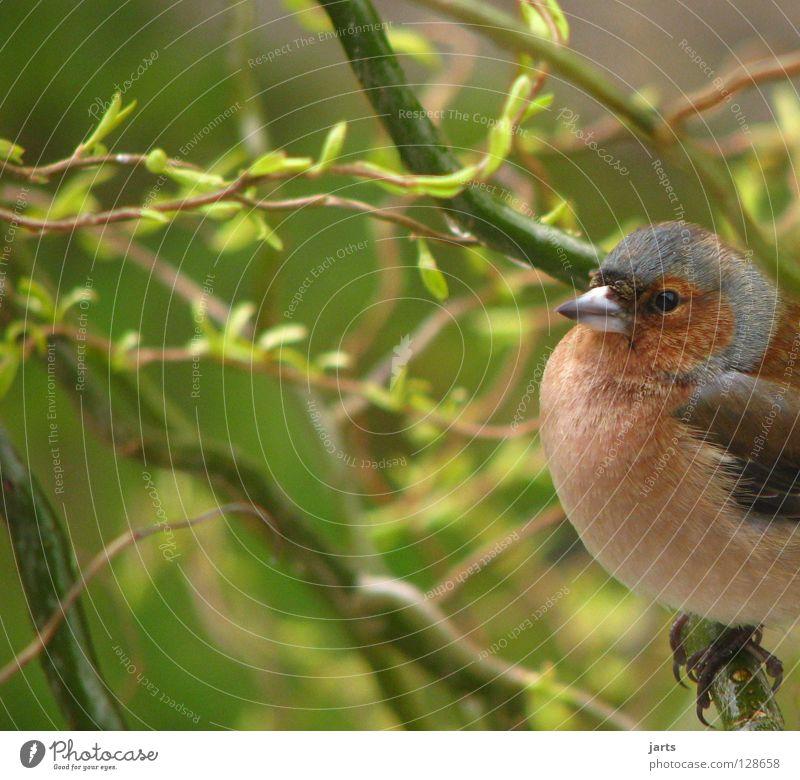 Chaffinch Finch Bird Tree Leaf Feather Loneliness fork jarts Garden