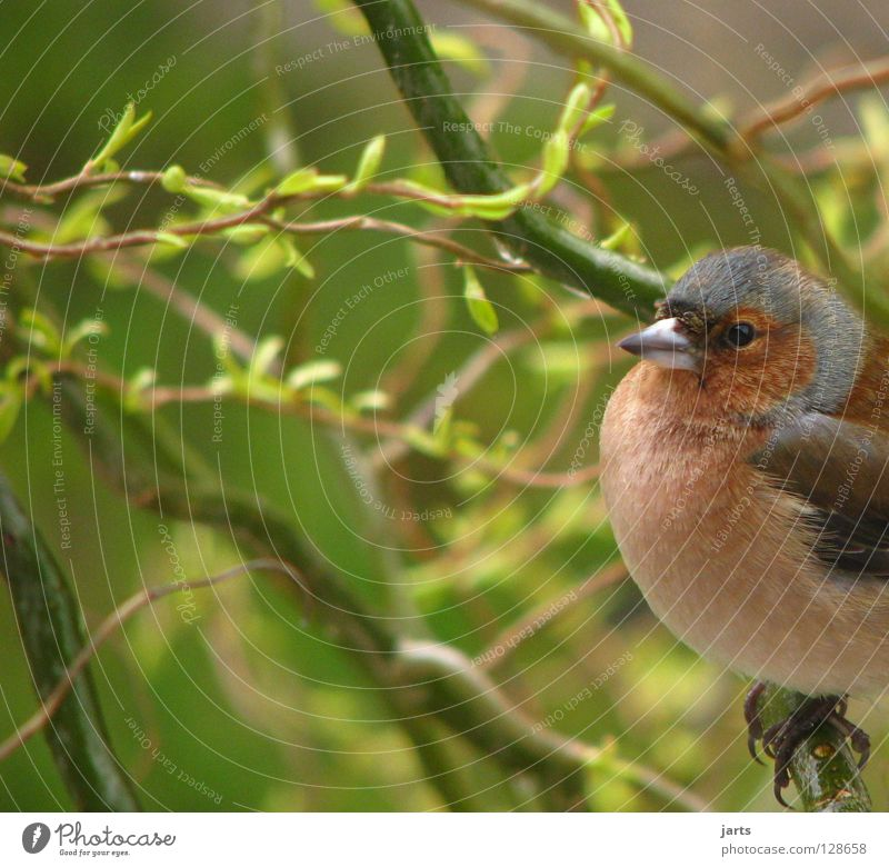 Tree Leaf Loneliness Garden Bird Feather Finch Chaffinch