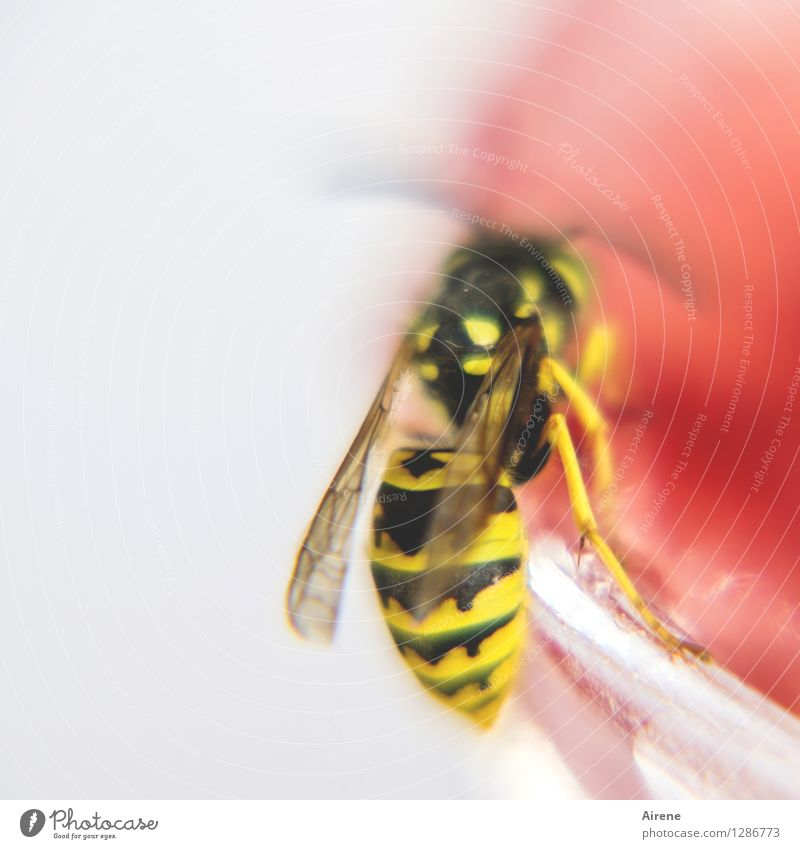 Summer White Red Animal Black Yellow Flying To enjoy Threat Sweet Insect Breakfast To feed Wasps Pierce Jam