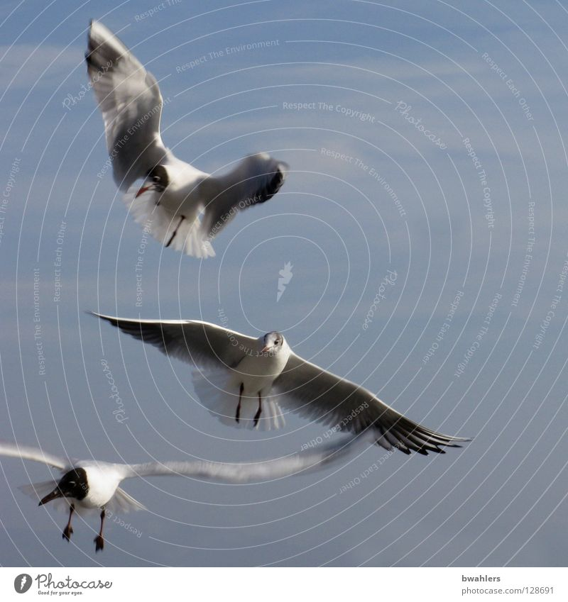 Sky White Blue Clouds Freedom Lake Bird Flying 3 Feather Wing Seagull Lake Constance