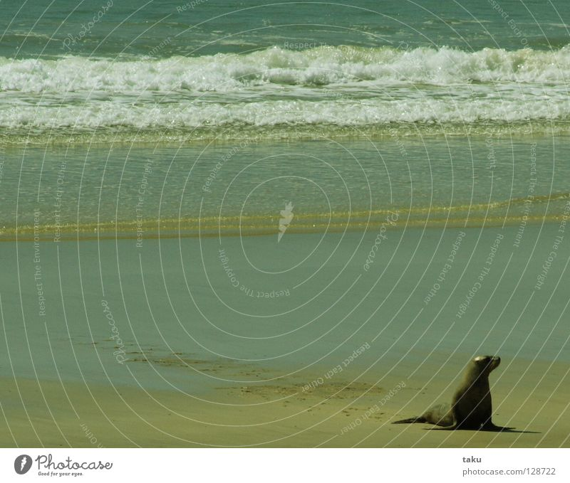 SEAL I New Zealand South Island Beach Ocean Waves Go crazy Speed Dangerous Animal p.b. seal Bay Water run aground be lazy Fishing (Angle) be in the sand