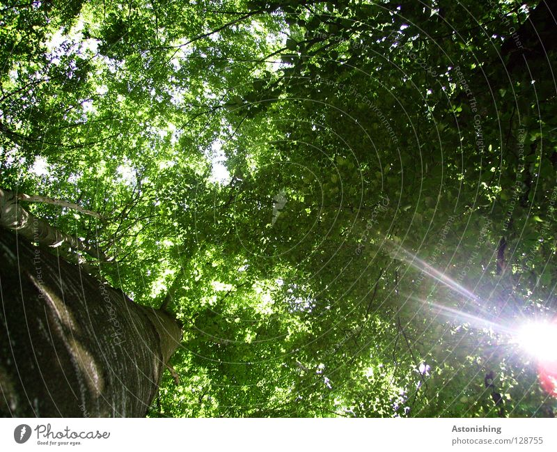 a hole in the roof Sun Tree Leaf Forest Green Perspective Treetop Tree trunk Branchage Leaf canopy Tree bark Hollow Light Sunbeam Frog Brown Dazzle Sunlight