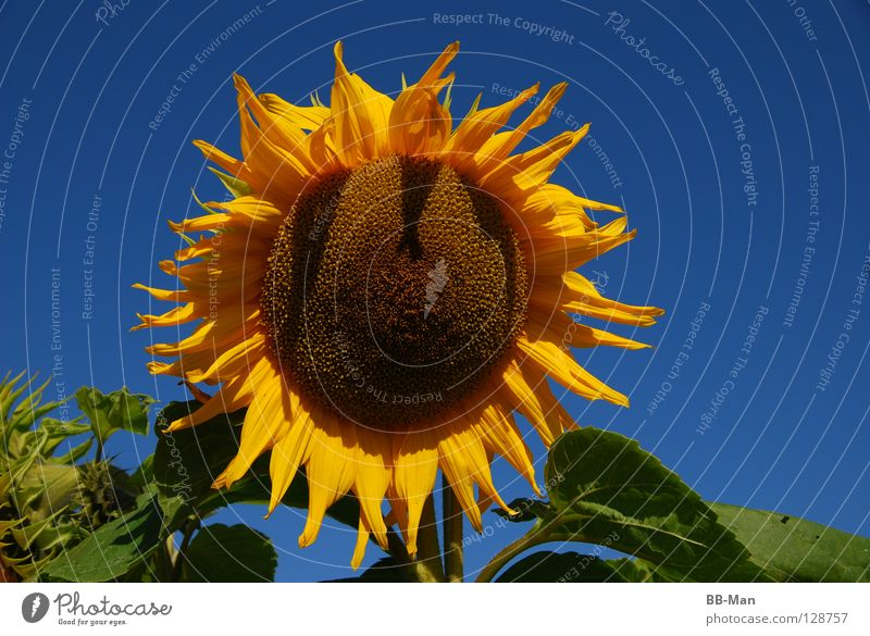 Nature Beautiful Sky Flower Green Blue Plant Summer Joy Yellow Warmth Physics Clarity Sunflower Beautiful weather