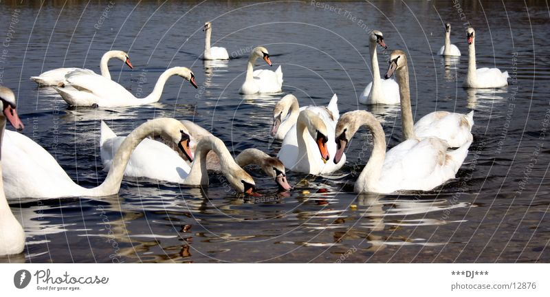 swan lake Swan To feed Bird Feeding Lake Water beautiful animals Float in the water Swimming & Bathing