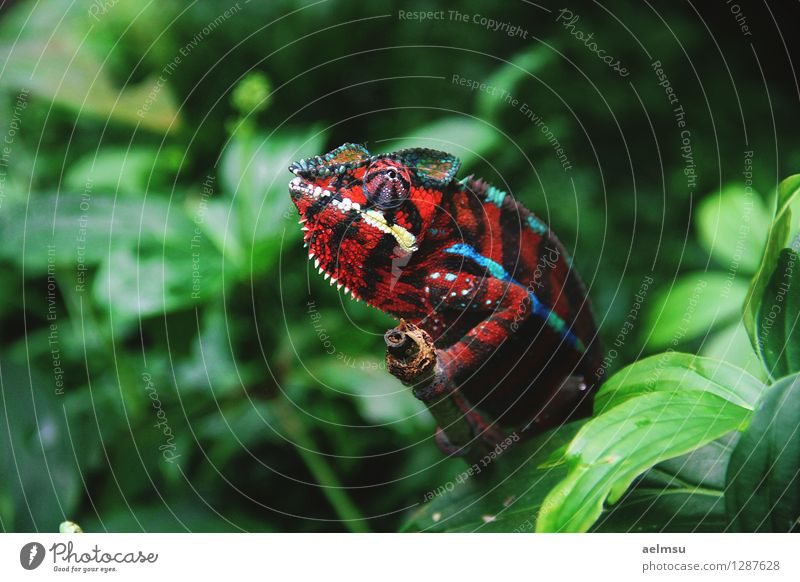 Chameleon Nature Animal Plant Foliage plant Exotic Virgin forest Wild animal Zoo 1 Green Red Colour photo Deserted Day Animal portrait