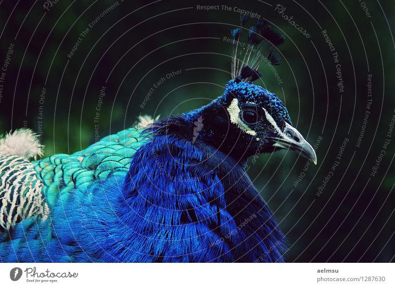 Peafowl 1 Blue Animal Black Wild animal Turquoise Zoo