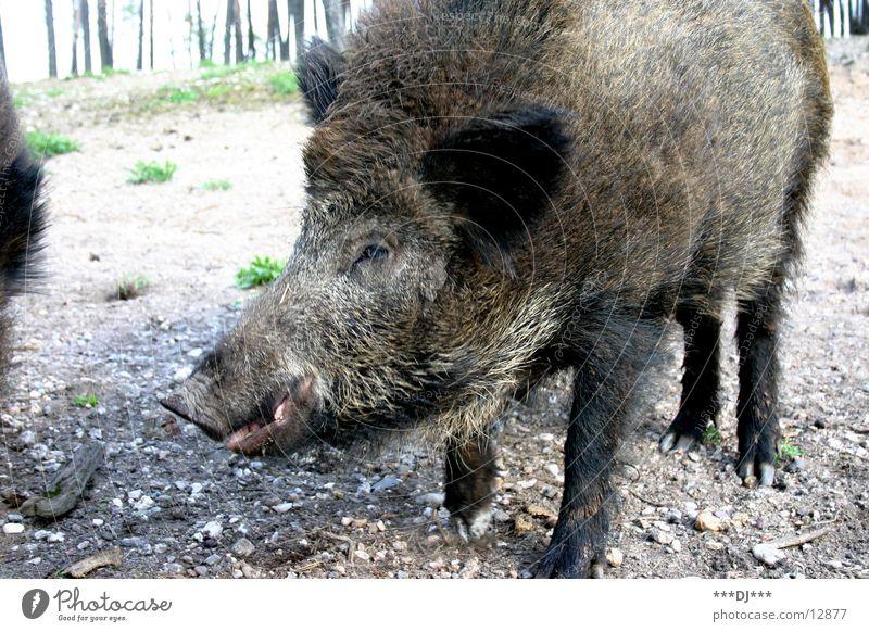 Animal Forest Large Sow Swine Wild boar Grunt
