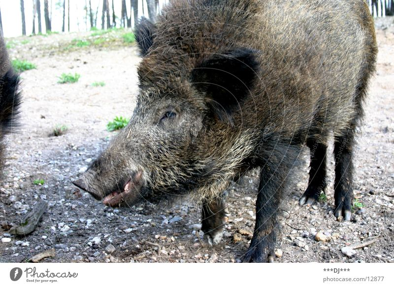 You son of a bitch! Animal Wild boar Forest Large Sow Grunt