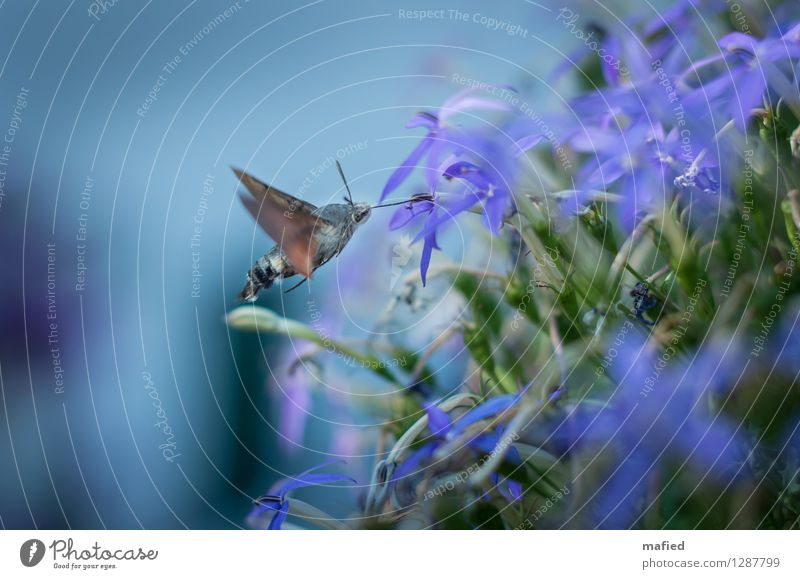 Temporary Hummingbird Flower Blossom Animal Wild animal Butterfly Wing 1 Blossoming Flying To feed Exotic Blue Brown Green Violet Nectar Trunk hover flight