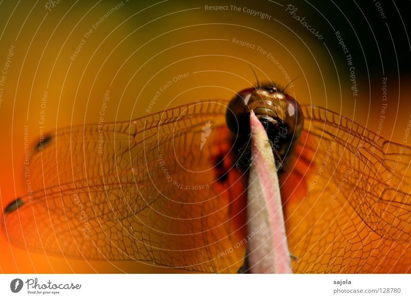 symphony in orange Animal Wild animal Wing Insect Dragonfly 1 To hold on Compound eye Frontal Orange bubble level Head Dragonfly wings Colour photo