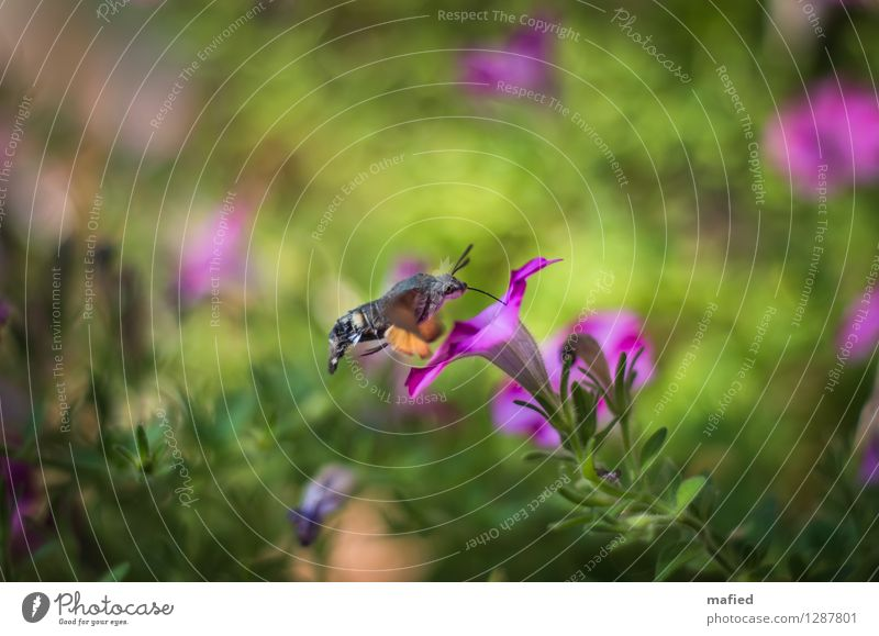 air-to-air refuelling Nature Plant Animal Summer Flower Blossom Garden Butterfly 1 Brown Green Pink Colour photo Exterior shot Deserted Day