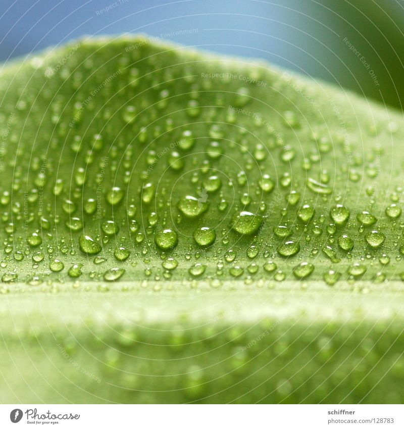 Lemon Line II Green Plant Foliage plant Houseplant Wet Drops of water Dripping Fresh Spring Wellness Background picture greenish Dragon tree Dracena Deremensis