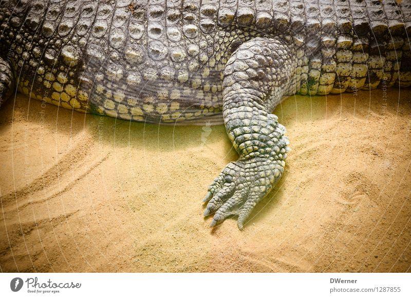 alligator Exotic Beautiful Tourism Adventure Safari Zoo Sand Animal Wild animal Scales Claw 1 Going Walking Lie Gigantic Large Yellow Crocodile Alligator Legs