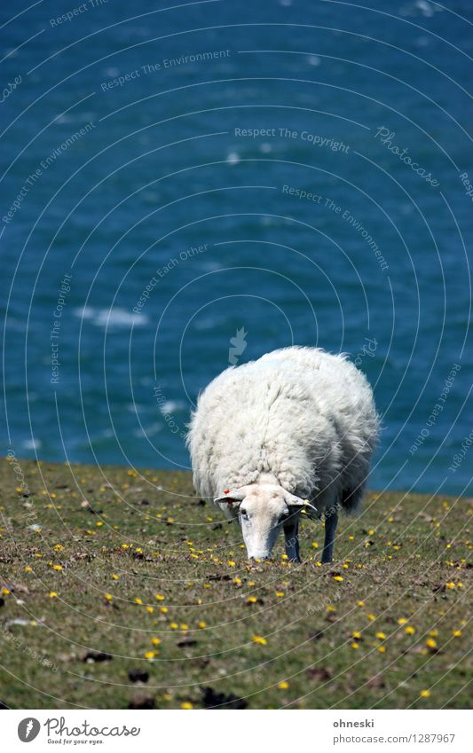 dike sheep Grass Meadow Coast Ocean Animal Farm animal Sheep 1 To feed Life Agriculture Colour photo Exterior shot Copy Space left Copy Space top Day Sunlight