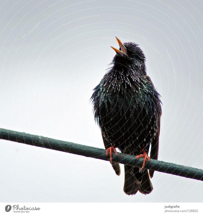 Nature Animal Colour Bird Sit Feather Scream Beak Sing Tone Starling Song Songbirds Chirping