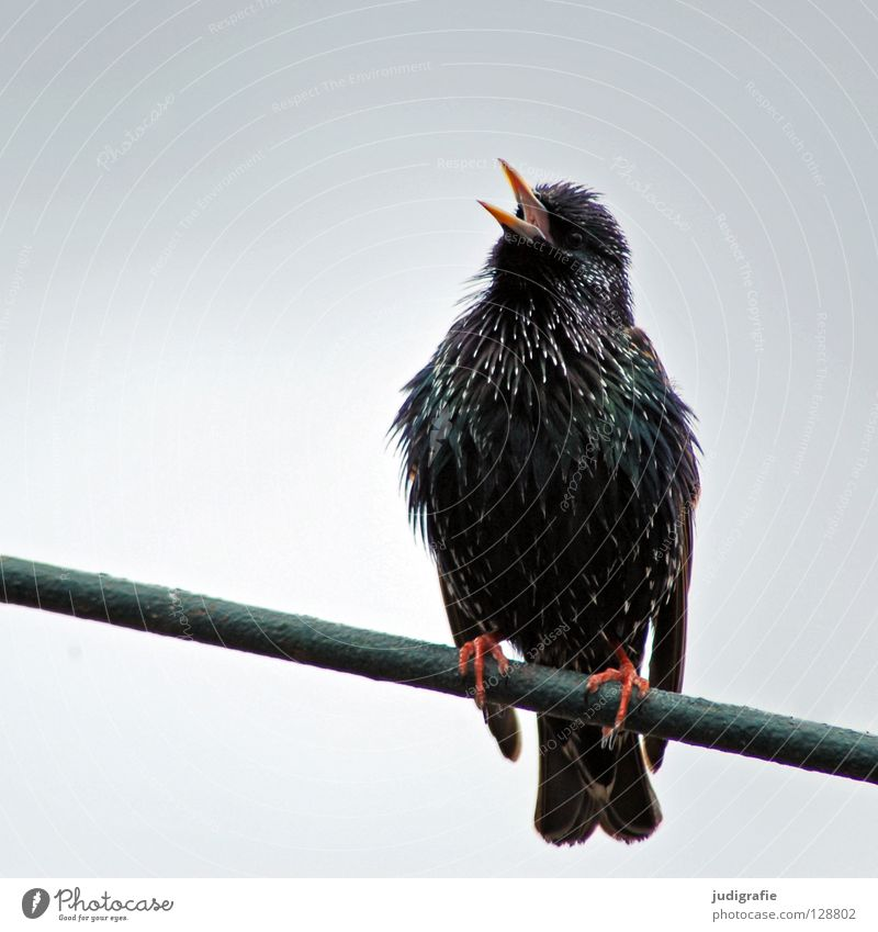 spring song Nature Animal Bird Scream Sit Colour Song Sing Tone Chirping Beak Feather imitator gorgeous dress Starling Songbirds Colour photo Close-up