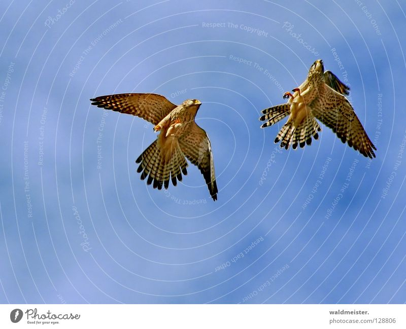 Two falcons two Falcon Kestrel Bird Clouds Together Rutting season Tails Environmental protection Bird of prey Sky aerial combat tail feathers against pigeons