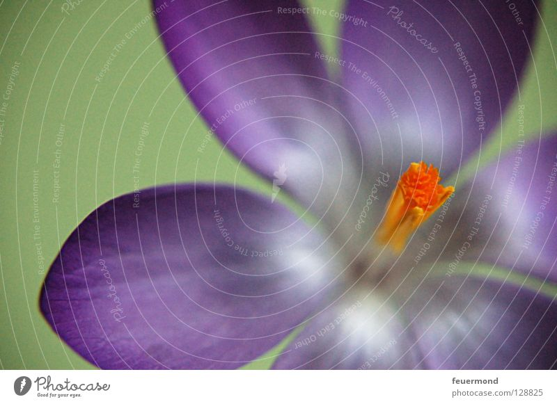 Crocus open up. Flower Blossom Spring Delicate Blossoming Blossom leave Wake up Pistil