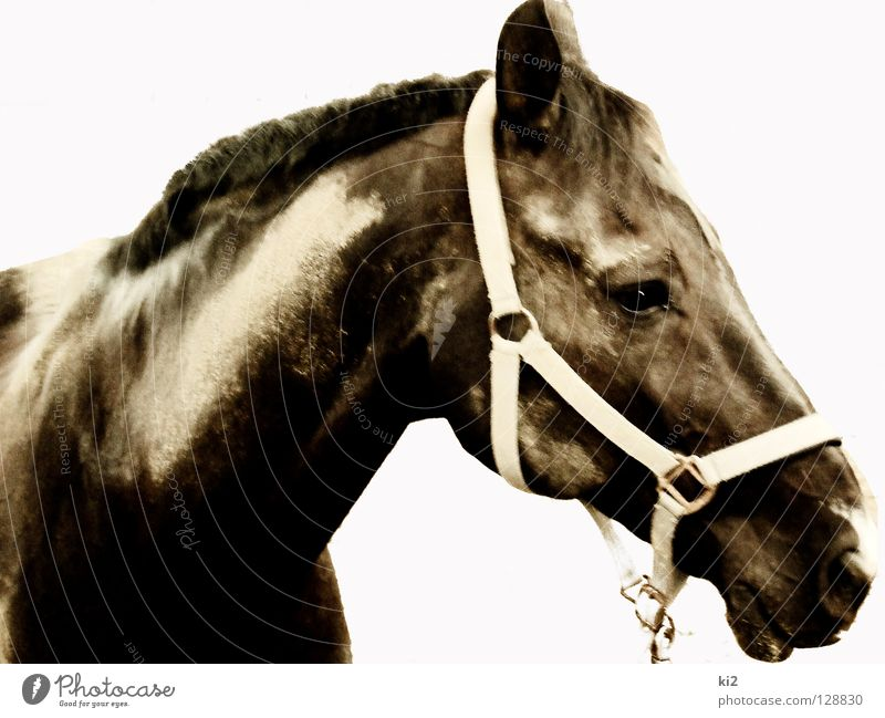 face of heinrich Horse Captured Mammal Earth Sand Isolated Image Freedom Dirty Nature Beautiful Power Looking