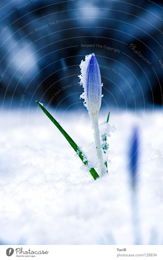 White Flower Blue Winter Cold Blossom Spring Bright Growth Blossoming Crocus Sprout
