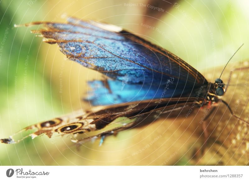 blue Nature Animal Garden Park Meadow Wild animal Butterfly Animal face Wing blue Morphof age Eyes Feeler Legs 1 Observe Relaxation Flying To feed Exceptional