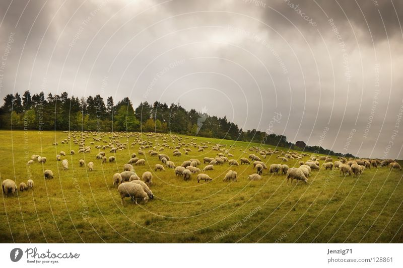 Pasture landscape. Meadow Grass Sheep Flock Shepherd Wool Agriculture Animal Autumn Sky pasture landscape herd of sheep Weather Nature Exterior shot