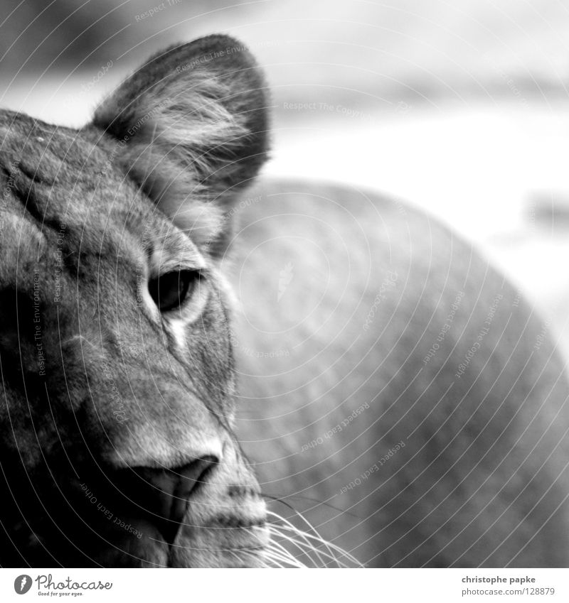 Freedom Sadness Cat Nose Sweet Grief Ear Zoo Square Hunting Distress Mammal Captured Penitentiary Lion Partially visible