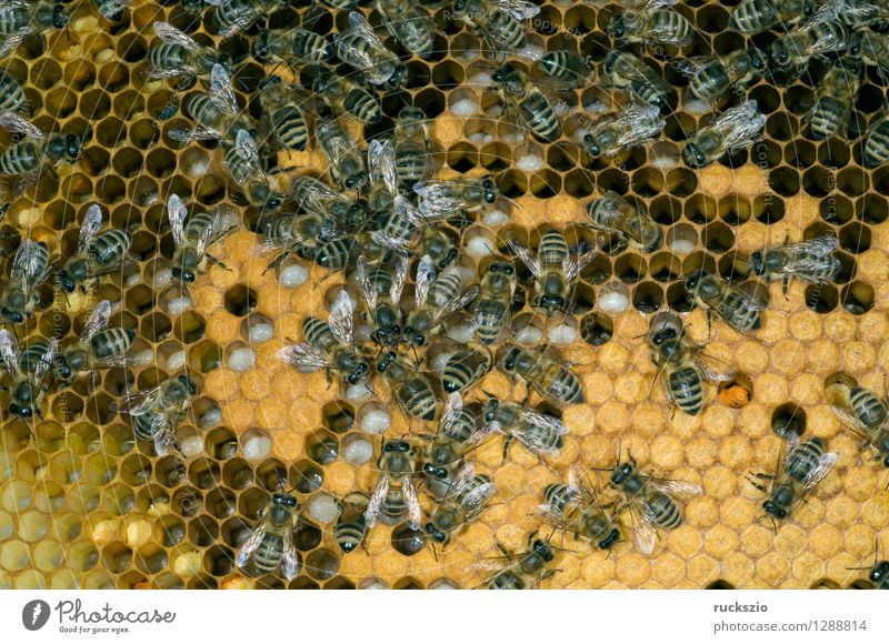 Honey bees, bee; Apis; mellifera Pet Bee Box Authentic Beehive Working man honey box Bird's eggs stretchmade maggot roundmade Larva bee larva honey room