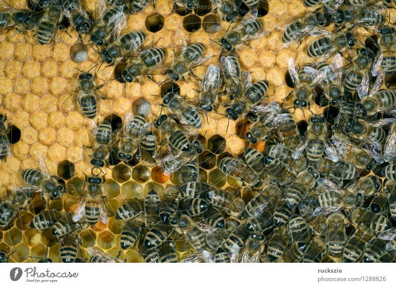 Honey bees, bee; Apis; mellifera Pet Bee Box Authentic Beehive Working man honey box Bird's eggs stretchmade maggot roundmade Larva bee larva honey room
