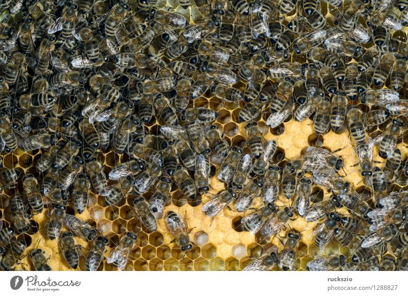 Honey bees, bee; Apis; mellifera Pet Bee Box Work and employment Crawl Beehive Working man honey box Bird's eggs stretchmade maggot roundmade Larva bee larva