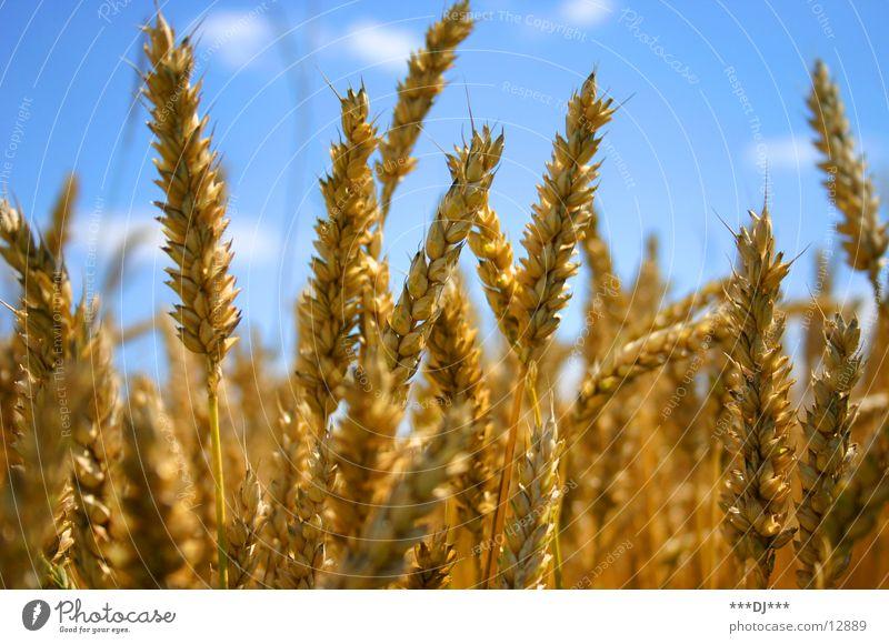 wheat field Ear of corn Wheat Flour Beer Nutrition Yellow Sky Landscape Blue Grain Food Gold