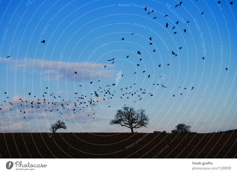 swarming with raven Raven birds Flock of birds Field Autumn Bird Thief Animal Nature Freedom Beginning Aviation