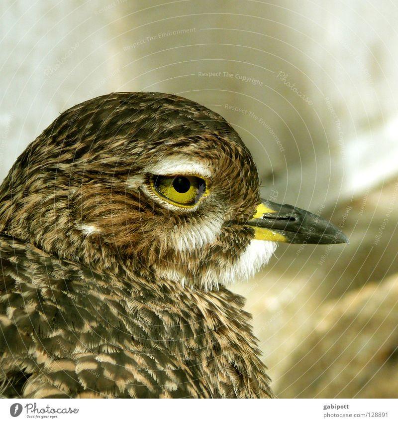 Yellow Eyes Life Bird Brown Natural Feather Observe Animal face Beak Pupil Ornithology Bird's head