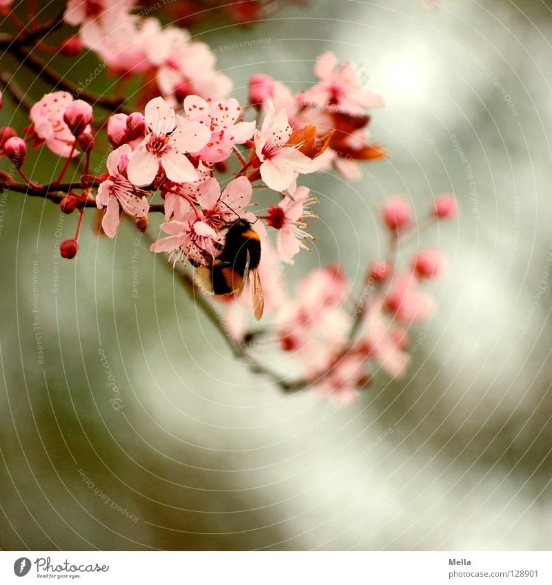 Hummel Hummel mors mors Spring Plant Blossom Animal Bumble bee 1 Blossoming To hold on Crawl Natural Soft Pink Diligent Nature Environment Colour photo