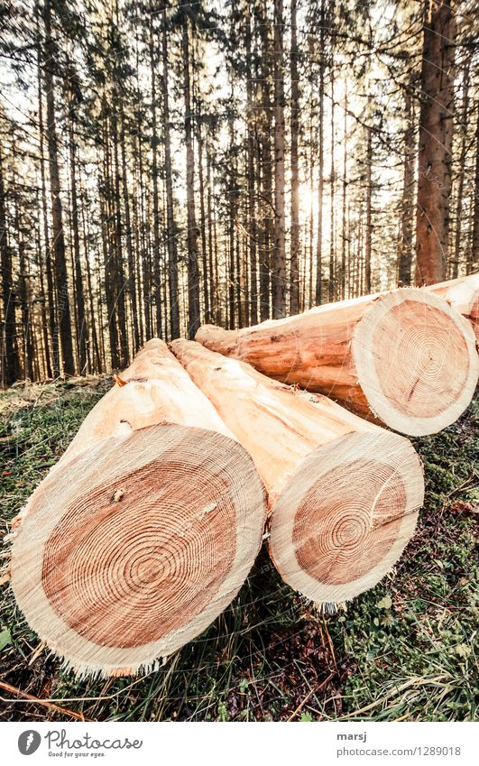 Trash! 2015 | Fleis Task Agriculture Forestry Beautiful weather Plant Tree Timber larch trunk Larch Wood Lie Death Beginning Fallen barked log lumber Tree trunk