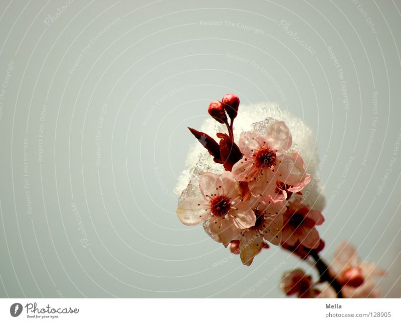 White Tree Winter Cold Snow Blossom Spring Gray Ice Pink Environment Frost Bushes Branch Blossoming Frozen