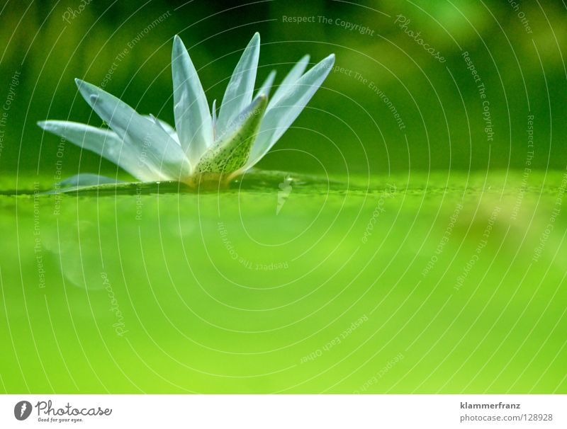 unfold Aquatic plant Water lily Blossom Deploy Algae Float in the water Blossom leave Copy Space bottom Copy Space right Blossoming