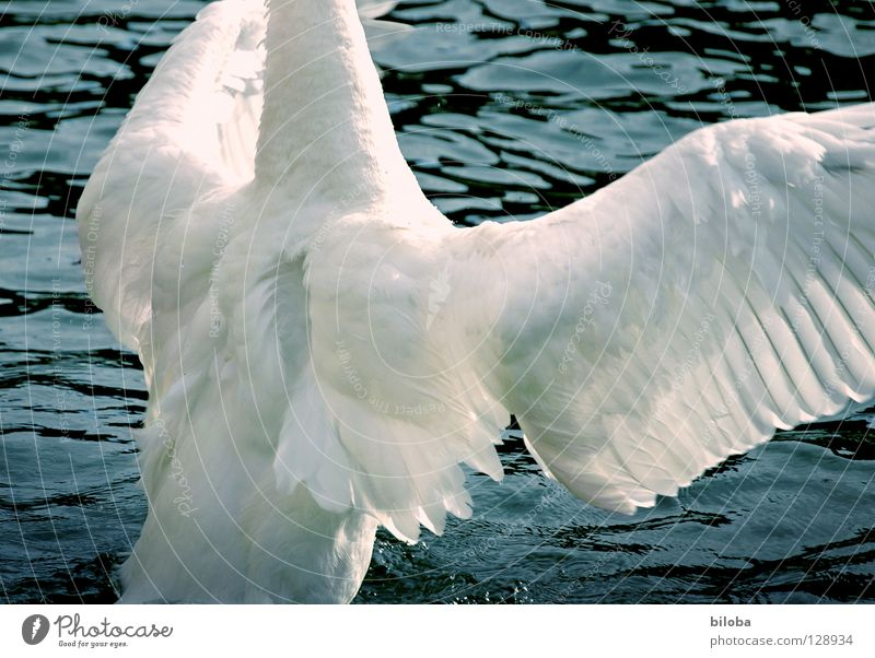 Can I push you hard? Swan Poultry Long Soft Graceful Headless Pushing Embrace Elegant Wing Black White Bird Body of water Lake Rutting season Effort Fight