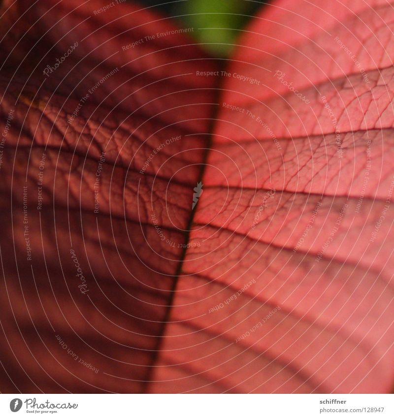 Plant Red Leaf Vessel Slide Rachis Houseplant Bract