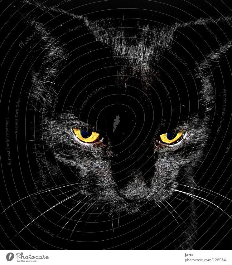 Black Eyes Lamp Cat Nose Pelt Concentrate Mammal Domestic cat Animal