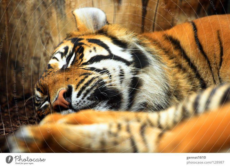 White Black Cat Orange Fear Nose Large Sleep Dangerous Stripe Ear Pelt Scream Facial hair Mammal Striped