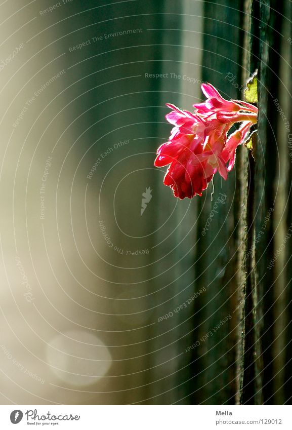 Flower Blossom Spring Pink Growth Protection Delicate Fence Wooden board Against Brash Feeble Fragile Sensitive Helpless Disk