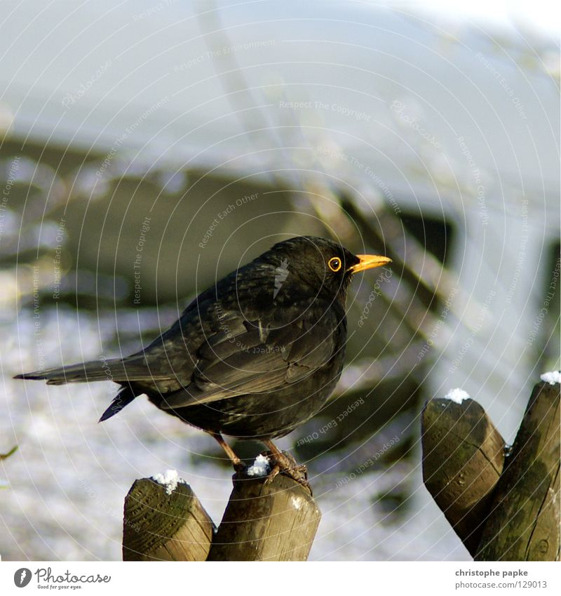 Nature Animal Winter Black Snow Bird Sit Feather Wing To hold on Fence Beak Pole Habitat Poultry Blackbird