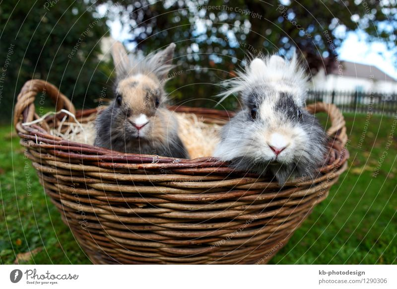 Young Lion head bunnies in a basket Animal Pelt Hare & Rabbit & Bunny Soft bunny curious ears easter For furry hair mammal pet rabbit rodent small view white