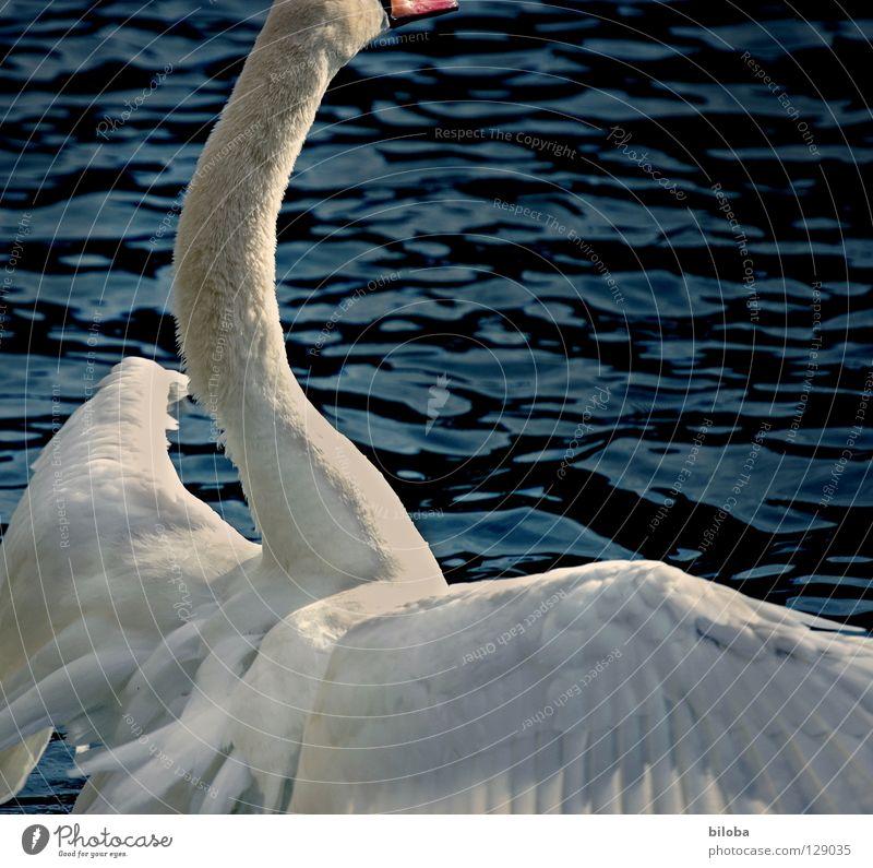 Water White Animal Black Lake Bird Waves Power Flying Arm Large Elegant Force Feather Wing Soft