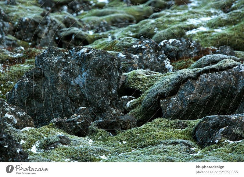 Closeup of green moss on volcanic rocks in Iceland Vacation & Travel Tourism Winter Nature Animal Plant Moss durable resistant tough volcano snow snowy