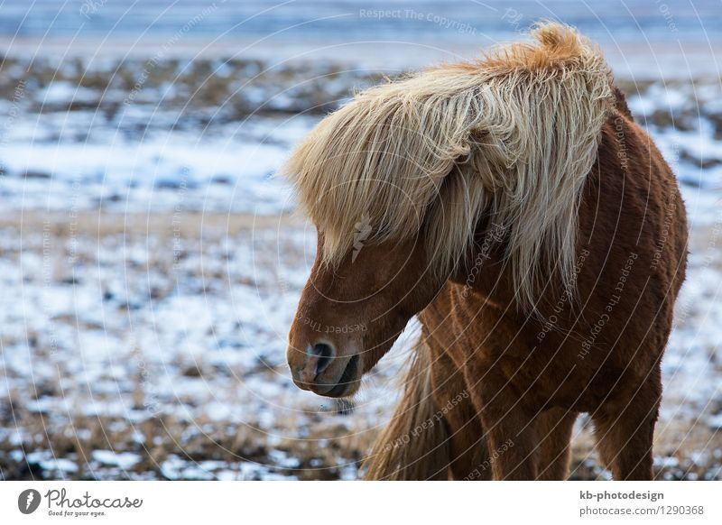 Angry Icelandic horse on a meadow Vacation & Travel Tourism Adventure Far-off places Winter Wind Wild animal Horse 1 Animal Iceland pony Iceland ponies