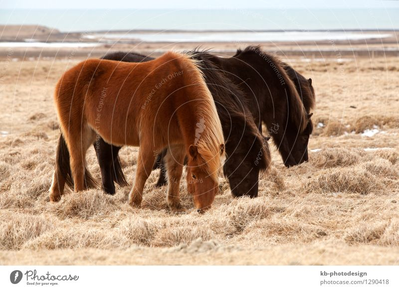 Herd of brown Icelandic horses on a meadow in spring Vacation & Travel Tourism Winter Landscape Spring Wild animal Horse 4 Animal Iceland pony Iceland ponies