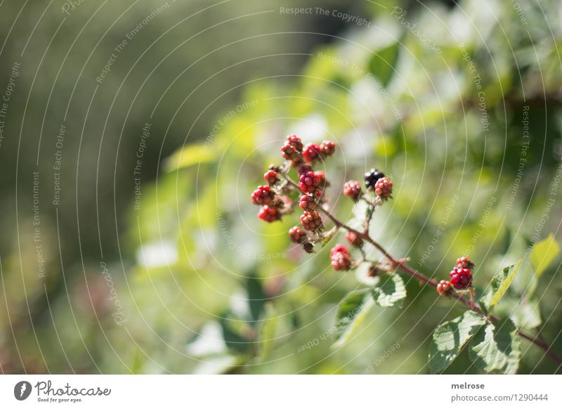 Nature Green Summer White Relaxation Red Leaf Forest Environment Eating Glittering Fruit Leisure and hobbies Growth Bushes To enjoy