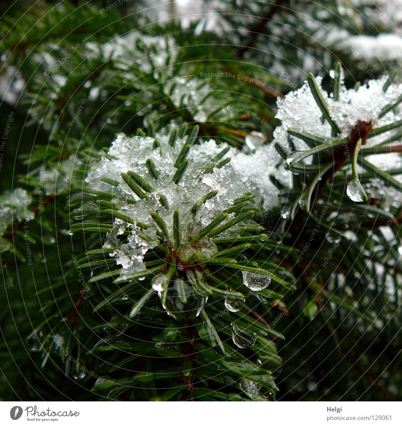 Fir branches with wet snow and drops Tree Fir tree Plant Growth Fir needle Dark Snowflake Cold Winter December January February Spring March April Freeze Thaw